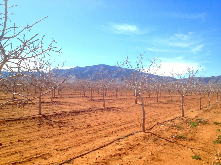 pistachioorchard